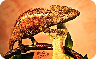 Gecko for Sale in Burlseon, Texas - Malie
