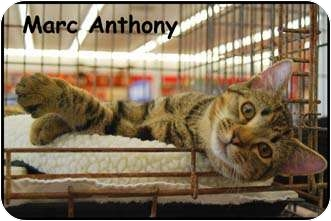 Domestic Shorthair Cat for Sale in Merrifield, Virginia - Marc Anthony
