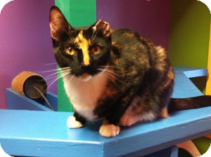 Domestic Shorthair Cat for Sale in Topeka, Kansas - Ursula