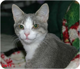 Domestic Shorthair Cat for Sale in Encino, California - EMMA