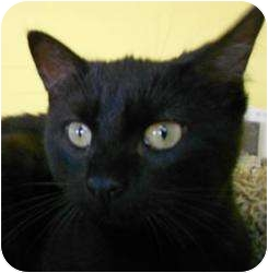 Domestic Shorthair Cat for adoption in Fort Collins, Colorado - Buster