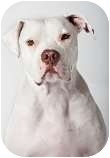 American Bulldog/Pit Bull Terrier Mix Dog for adption in Bellflower, California - Dozer