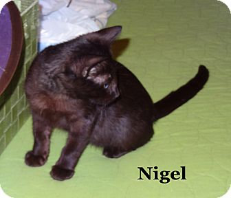 Domestic Shorthair Kitten for Sale in Bentonville, Arkansas - Nigel