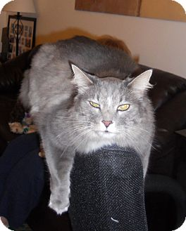Maine Coon Cat for Sale in Bartlett, Illinois - Giorgio