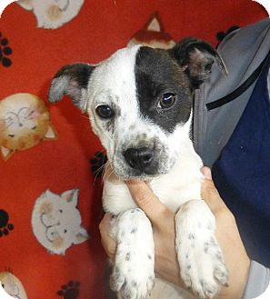 Boston Terrier Mix Puppy for Sale in Oviedo, Florida - Sheba