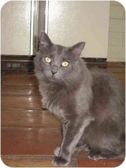 Domestic Longhair Cat for adoption in Tempe, Arizona - Spanky