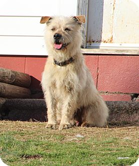 Cairn Terrier Mix Dog for Sale in Hagerstown, Maryland - Fraggle Rock