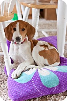 Ibizan Hound/English (Redtick) Coonhound Mix Puppy for Sale in Westland, Michigan - Kisses