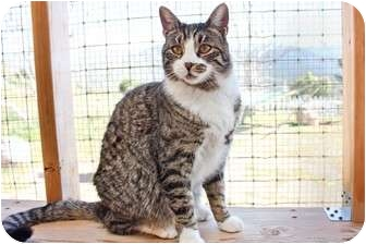 Domestic Shorthair Cat for adoption in Canyon Country, California - Milo