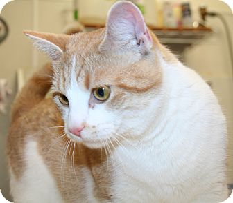 Domestic Shorthair Cat for Sale in Edmonton, Alberta - Quinton