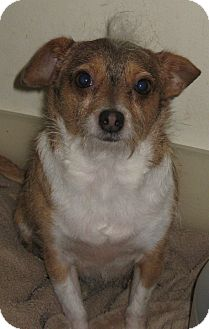 Terrier (Unknown Type, Small)/Chihuahua Mix Dog for adption in Studio City, California - Darling