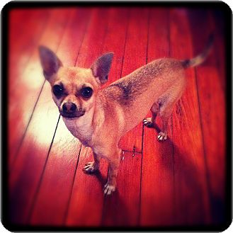 Chihuahua Dog for Sale in Bridgeton, Missouri - Renny-Adoption pending