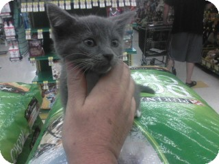 Russian Blue Kitten for Sale in Beckley, West Virginia - Shirley