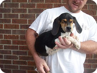 Beagle/Coonhound (Unknown Type) Mix Puppy for Sale in Germantown, Maryland - Bonnie(Female) and Clyde(male)