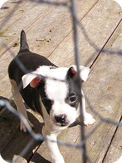 Boston Terrier/Terrier (Unknown Type, Small) Mix Puppy for Sale in shelton, Connecticut - Bounce