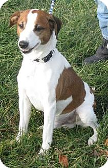 Jack Russell Terrier Mix Dog for Sale in Lisbon, Ohio - Jack