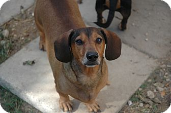 Dachshund Dog for Sale in san antonio, Texas - Wrinkles