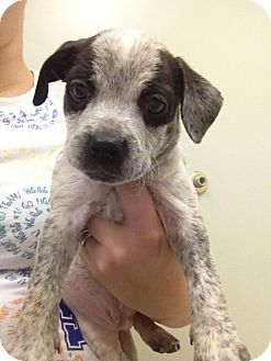 Boxer/Bluetick Coonhound Mix Puppy for Sale in Nashville, Tennessee - Merlin