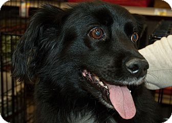 Spaniel (Unknown Type) Mix Dog for Sale in Richmond, Virginia - Pepper