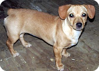 Jack Russell Terrier Mix Dog for Sale in Niagra Falls, New York - Pixie