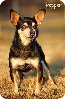 Chihuahua/Manchester Terrier Mix Dog for adption in Wilmington, Delaware - Pepper