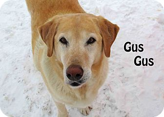 Retriever (Unknown Type) Mix Dog for Sale in Hamilton, Montana - gus