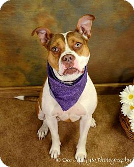 Bulldog Mix Dog for adption in Ann Arbor, Michigan - Bailey