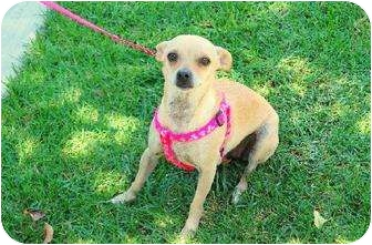 Chihuahua Mix Dog for adption in Chino, California - Millie