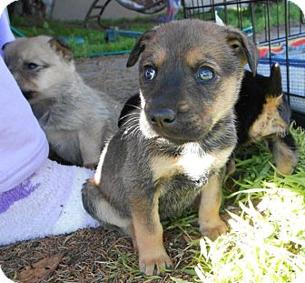German Shepherd Dog/Labrador Retriever Mix Puppy for Sale in Torrance, California - TANYA