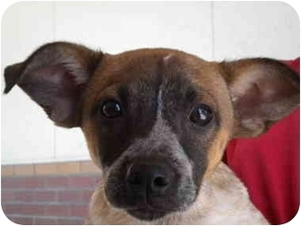 Cattle Dog Mix Puppy for adption in Fresno, California - Celeste