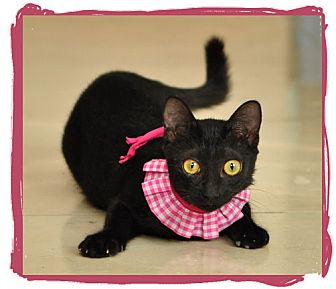 Oriental Cat for adoption in Orange, California - Sunny
