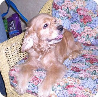 Cocker Spaniel Dog for Sale in New Castle, Pennsylvania -