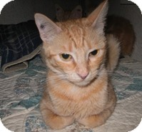 Domestic Shorthair Cat for Sale in Shelton, Washington - Little Lady