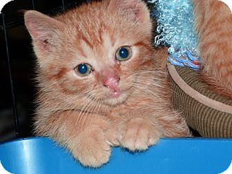 Domestic Shorthair Kitten for Sale in Stafford, Virginia - Henry
