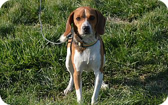 Beagle Mix Dog for Sale in New cumberland, West Virginia - Dazzle