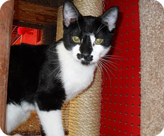 Domestic Shorthair Cat for adoption in Phoenix, Arizona - Alfonso