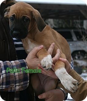 Boxer Mix Puppy for Sale in Danbury, Connecticut - Palin
