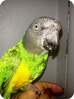 Poicephalus (including Senegal and Meyer's) for Sale in Tampa, Florida - Ricky