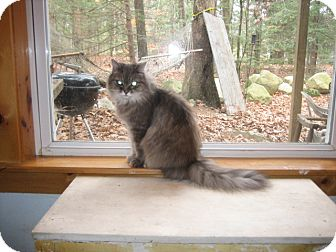 Domestic Longhair Cat for Sale in Portland, Maine - Asia