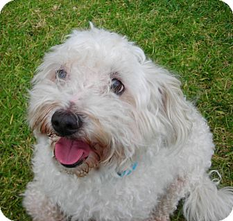 Bichon Frise Dog for Sale in El Cajon, California - Charlie