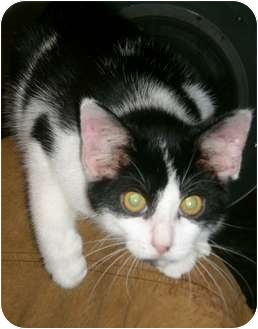 Domestic Shorthair Kitten for adoption in Depauw, Indiana - Tipsy
