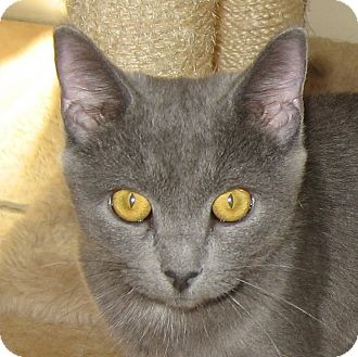 Russian Blue Kitten for Sale in Hamilton, New Jersey - LUCY
