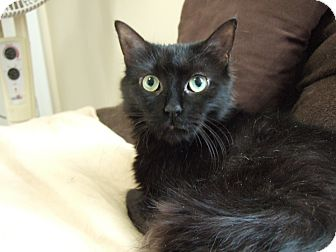 Domestic Mediumhair Cat for adoption in Mississauga, Ontario, Ontario - Tiny Dancer