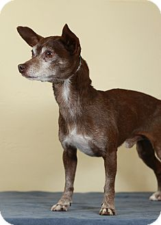 Chihuahua Mix Dog for adption in Westminster, Colorado - Carmello