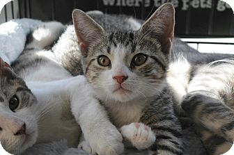 Domestic Shorthair Kitten for Sale in New York, New York - Paprika