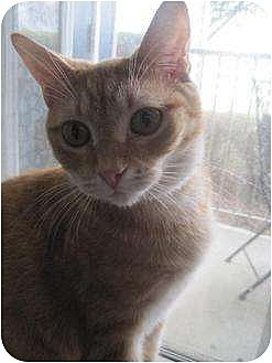Domestic Shorthair Cat for adoption in Greenville, North Carolina - Bubbles