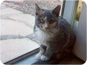 Domestic Mediumhair Cat for adoption in Mesa, Arizona - Stormy
