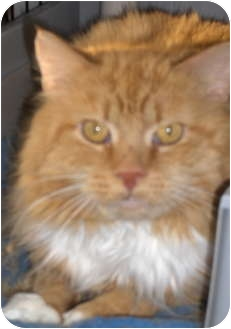Domestic Longhair Cat for adoption in Middletown, Connecticut - Sundance