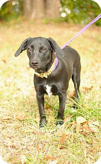 Beagle Mix Dog for adption in Nashville, Tennessee - Rosie