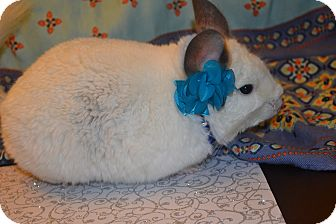 Chinchilla for Sale in Selden, New York - Boo